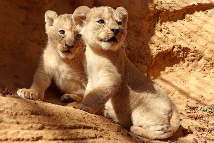 Lví koťata dostala v Plzni honosná jména: Vládce Fazan má vzácnou sestru Faridu
