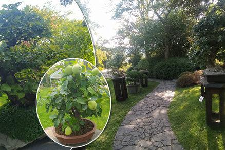 Miniaturní zeleň uprostřed odkvétající přírody: Botanická zahrada na podzim uvádí výstavu bonsají