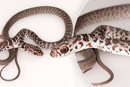 Vylíhl se dvouhlavý had! Podle odborníků má dva mozky, což mu škodí při rozhodování