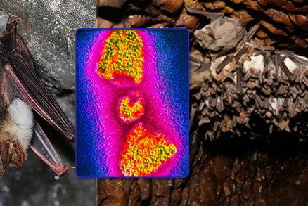 Čeští netopýři nesou protilátky na vzteklinu, odhalili vědci. Hrozí nám nebezpečí?
