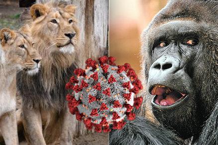 Koronavirus v Zoo Praha: Rýma, kašel, nechutenství! Co o nákaze prozradili odborníci?