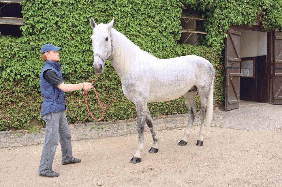 Darovaný hřebec Favory Alta zůstal v Kladrubech.