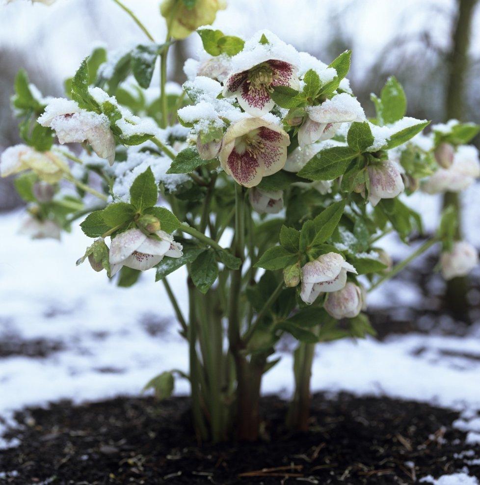 Sníh květině v žádném případě nevadí.
