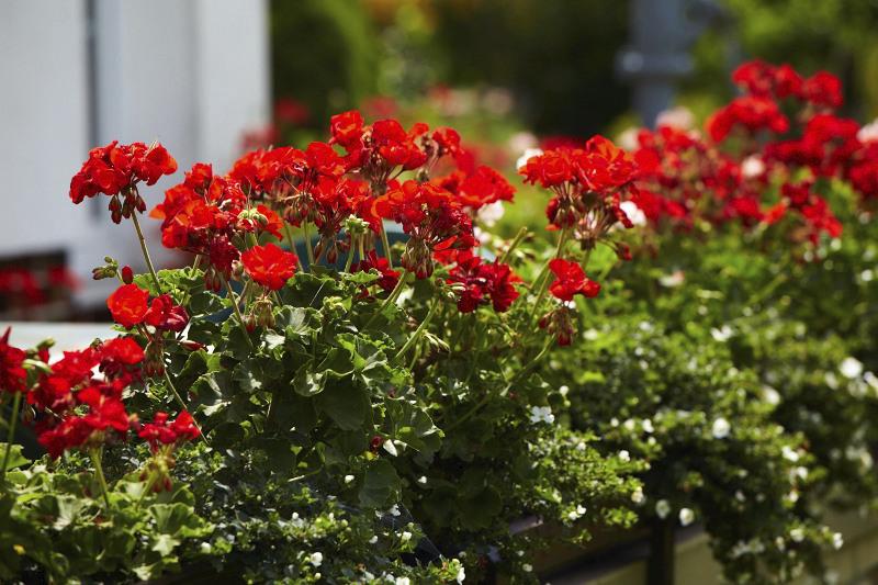 Jsou nejoblíbenějšími balkonovými květinami u nás. A potřebují speciální péči. Zemina pro pěstování a přesazování muškátů a balkonových květin je ochrání před chorobami, usnadní příjem živin a dobře poutá vodu, čímž zajistí zdravý kořenový systém.