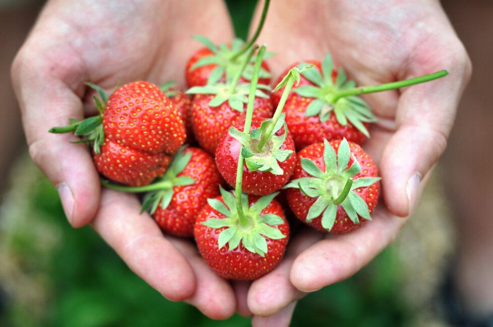 Aby vám narostly krásné jahody, potřebujete mít záhony zbavené plevele.