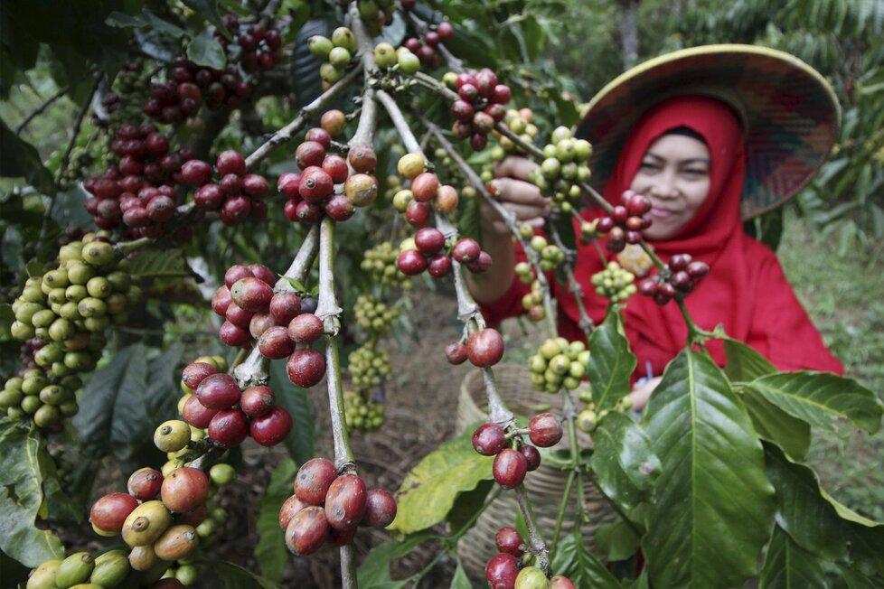 Káva, jeden z nejoblíbenějších a nejrozšířenějších nápojů na světě. (Ilustrační foto)
