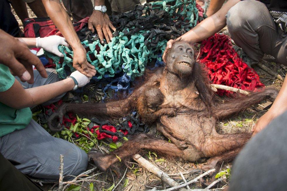 Ekologická katastrofa: Kvůli obřím požárům v Indonésii trpí i zvířata.