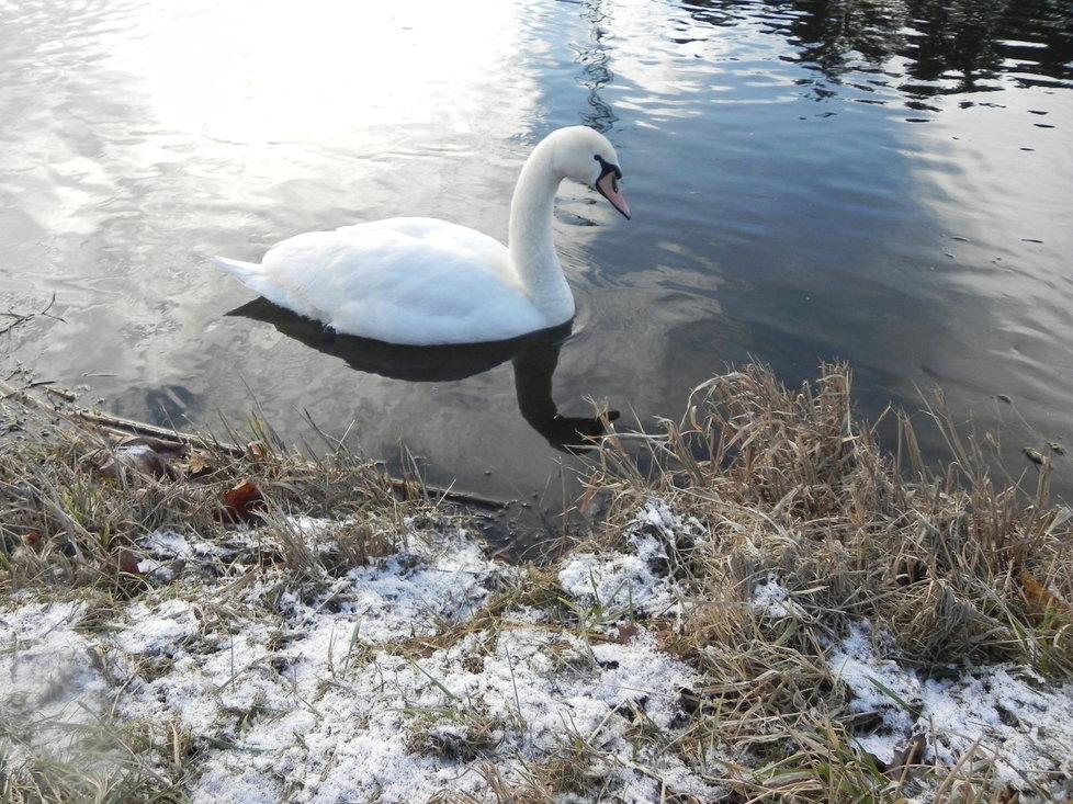 Do Ivančic zřejmě zavlekly nákazu labutě. Část uhynula, zbytek se zdržuje na řece Jihlavě.
