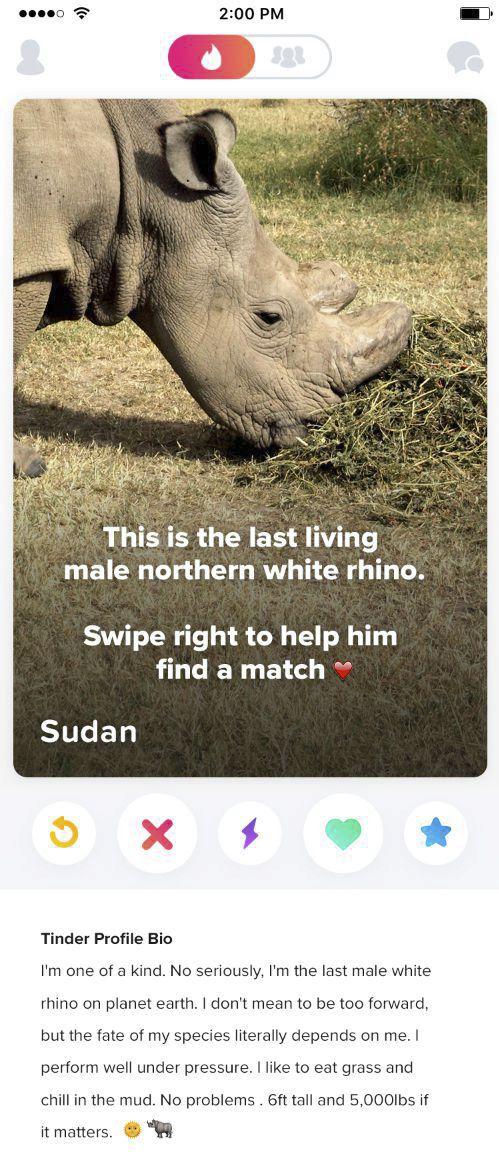Poslední nosorožec tuponosý má profil na Tinderu.