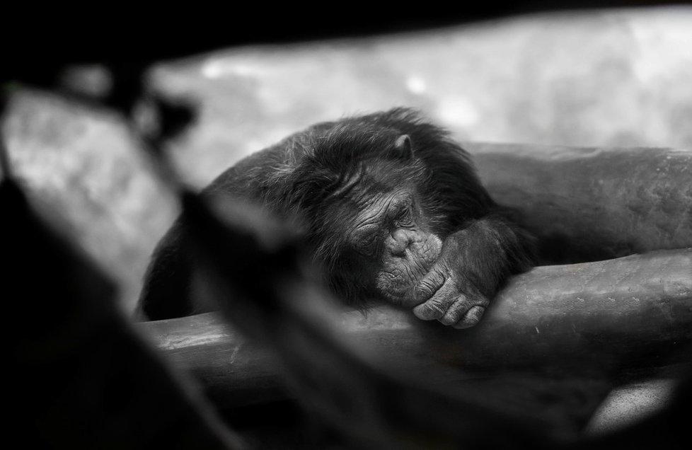 Šimpanzi si každou noc tvoří postele nové, tudíž je mají vždy čisté