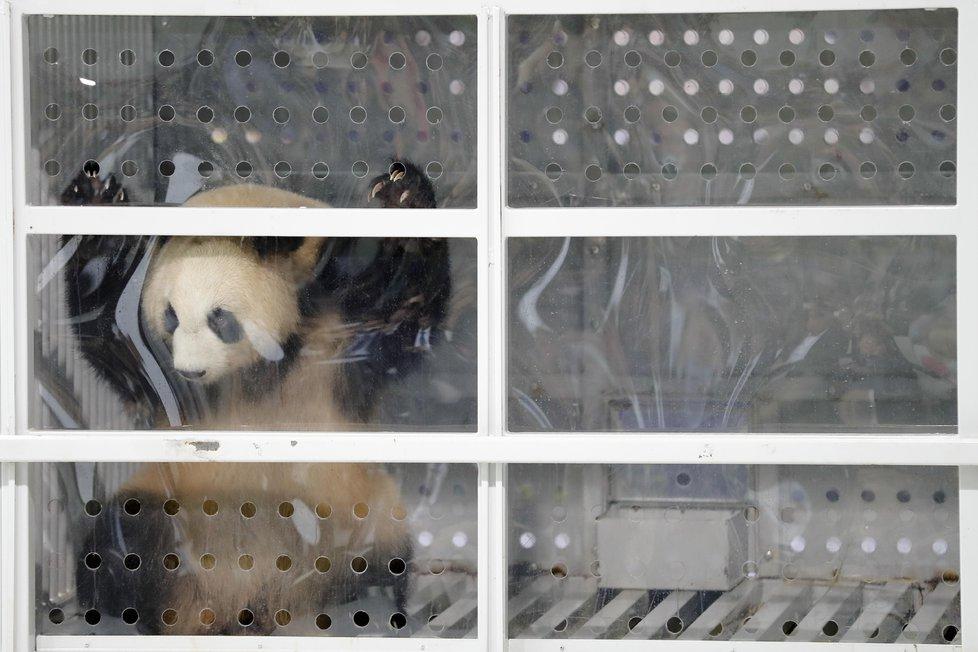 Dvě pandy velké byly v roce 2017 letecky přepraveny do Berlína, kde se staly atrakcí místní zoologické zahrady.