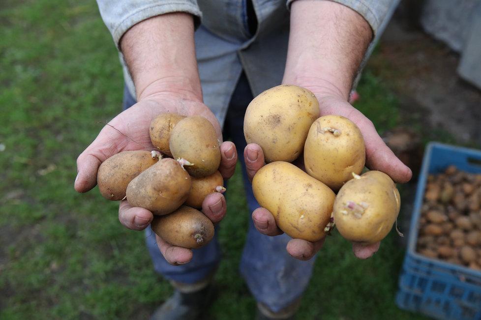 Jak dělíme brambory?