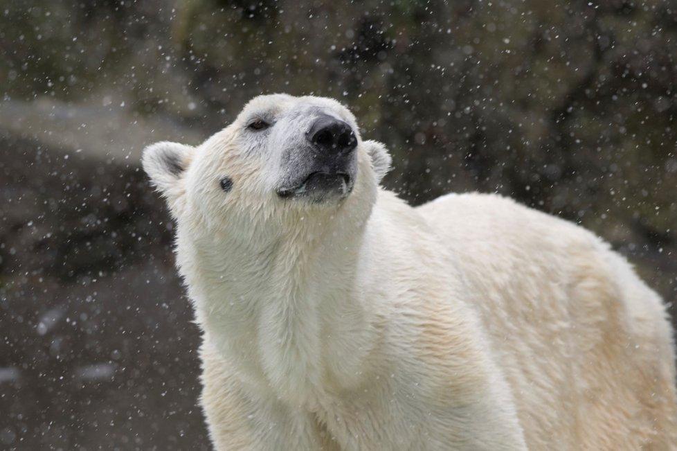 Zoo v New Yorku nechala utratit ledního medvěda Tundru, selhávaly mu ledviny