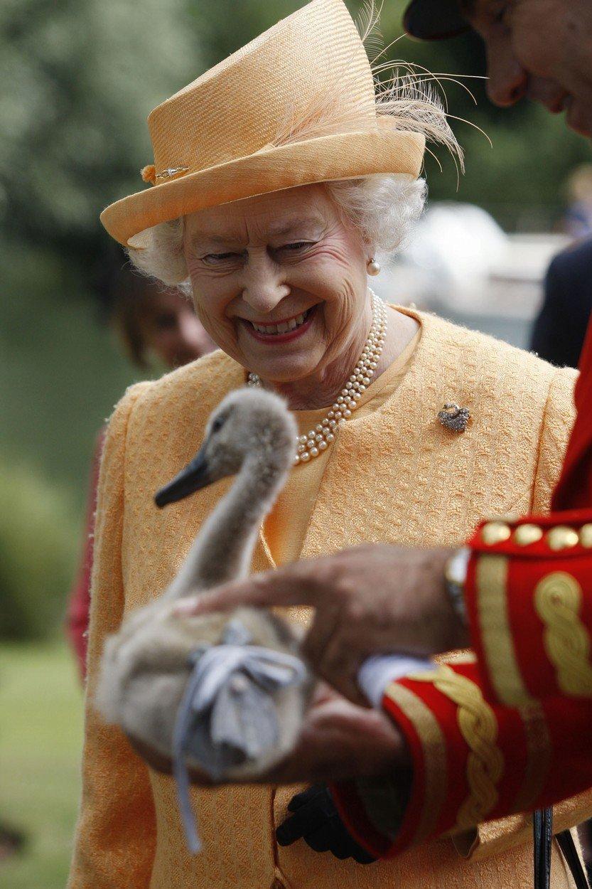 Hejno královniných labutí vybila ptačí chřipka.