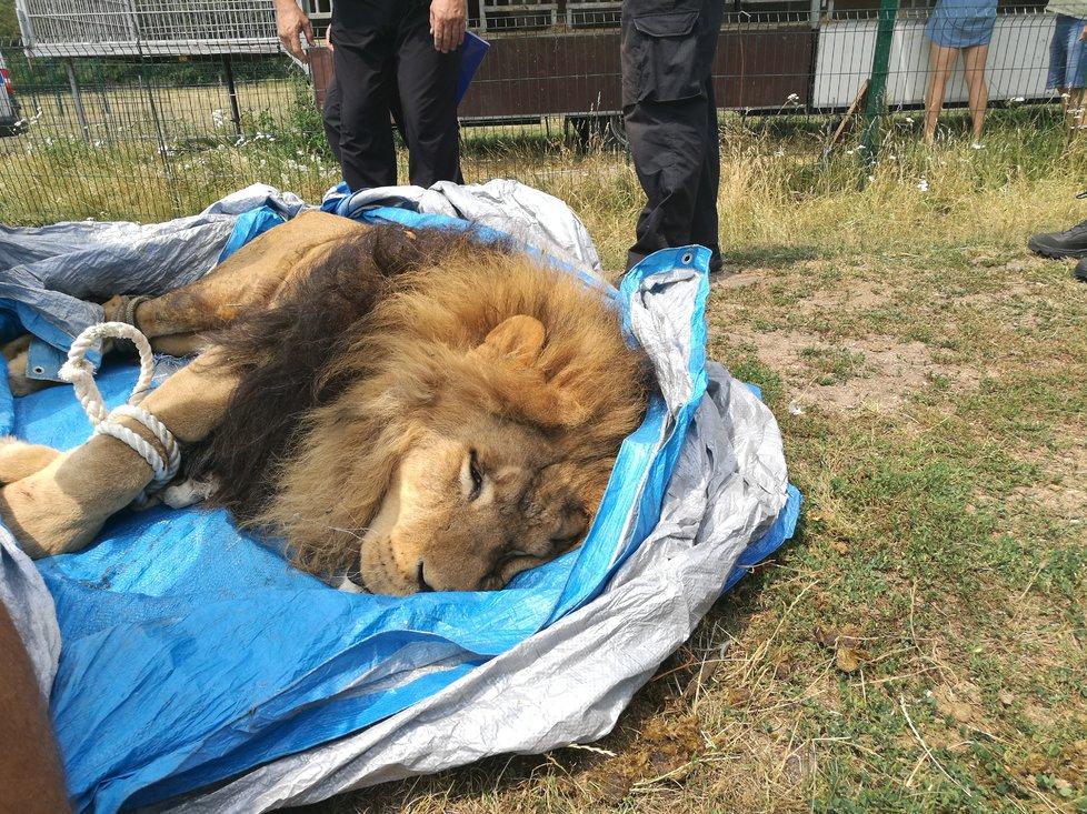 Lva i tygry uspali veterináři.