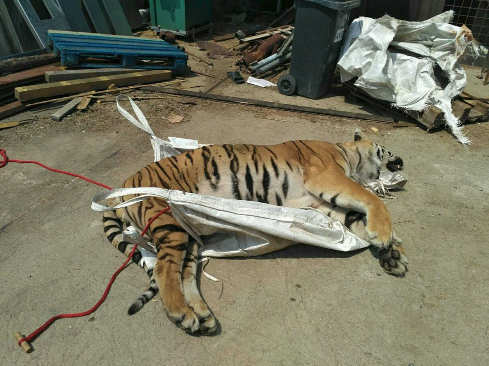 Fotodokumentace celní správy ze zásahu proti organizované skupině, která obchodovala s mrtvými tygry.
