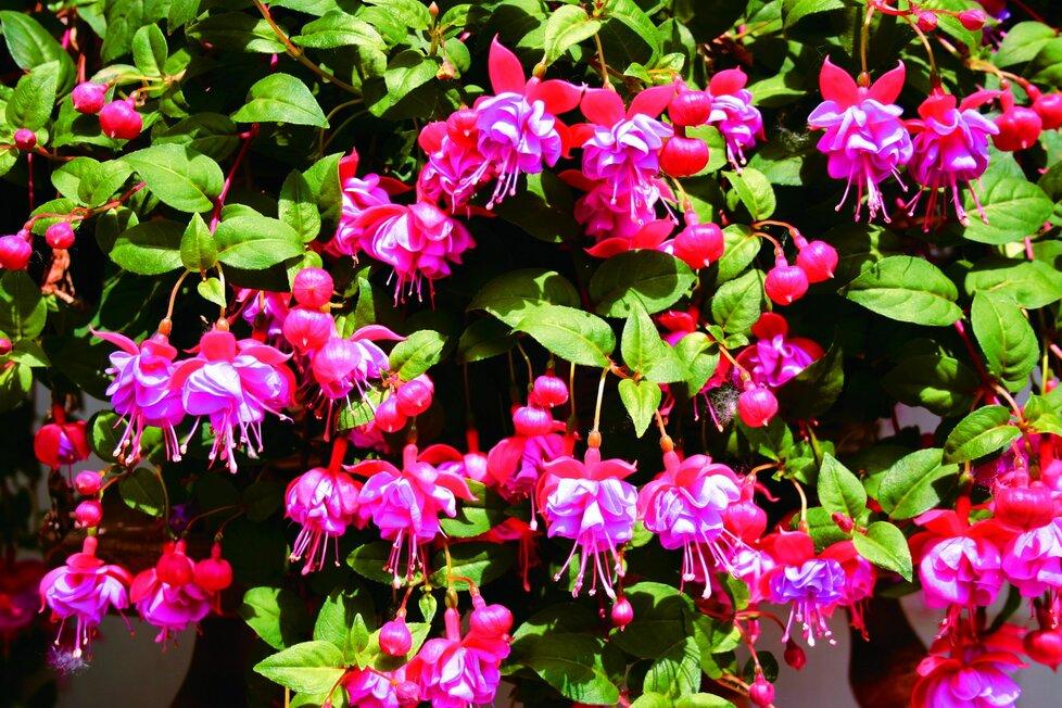 Fuchsie krásně kvetou po celou sezonu.