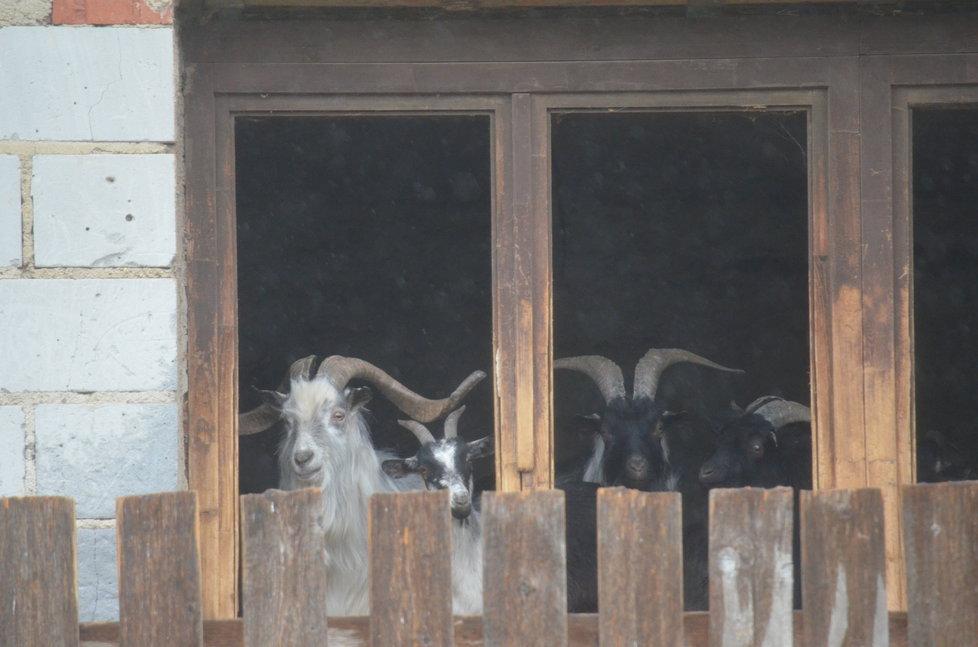 Kozy žijí v patře domu, na příchozí vykukují z balkonového okna.