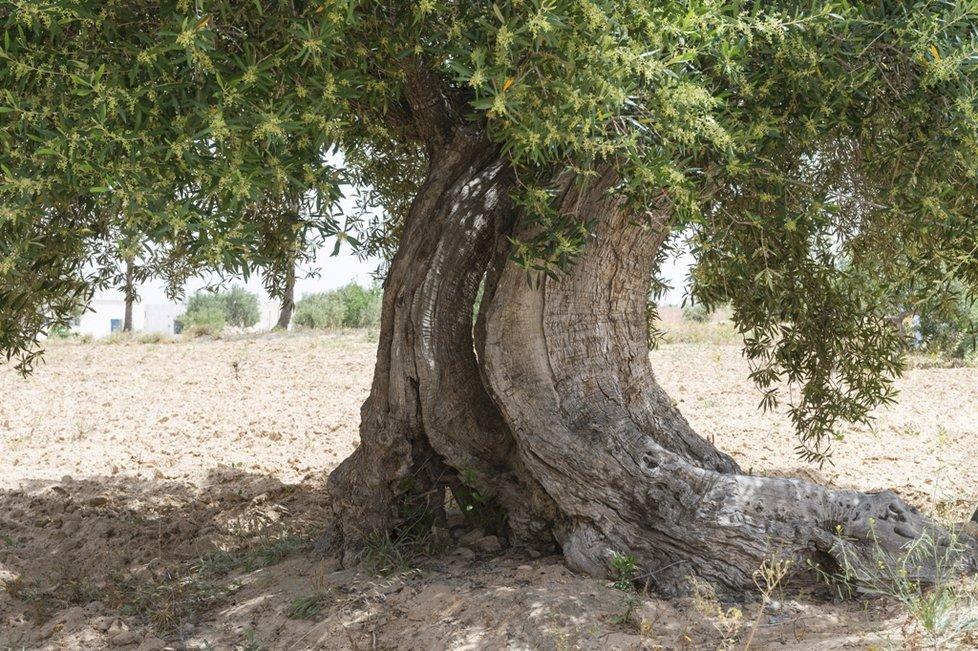 Minulost vás oslní také na Djerbě, v synagoze El Ghriba, jež je nejstarší synagogou severní Afriky. Obklopena je staletými olivovníky.