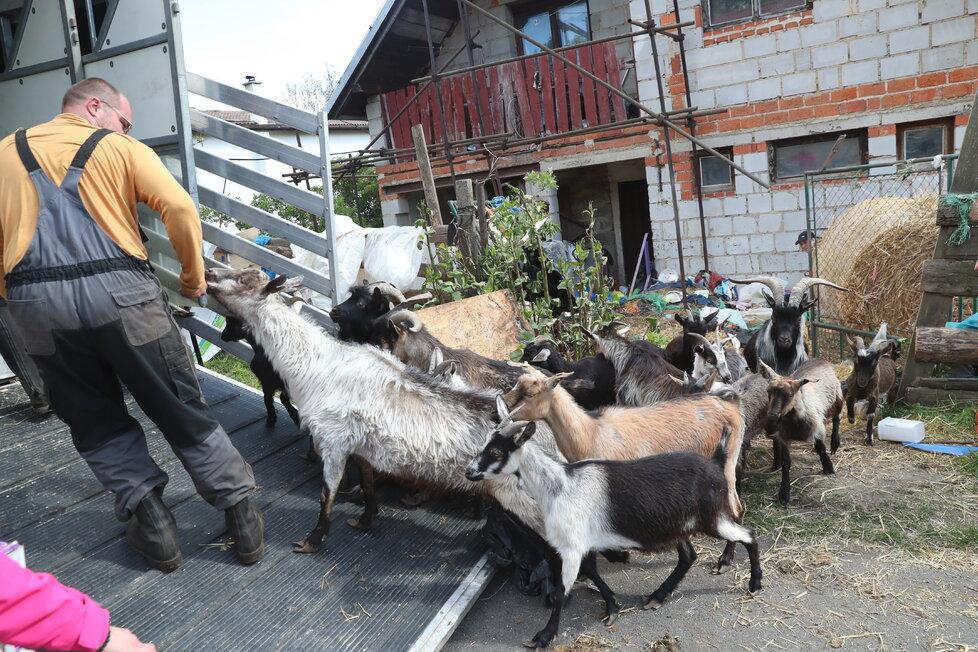 Odvézt se podařilo všechny kozy