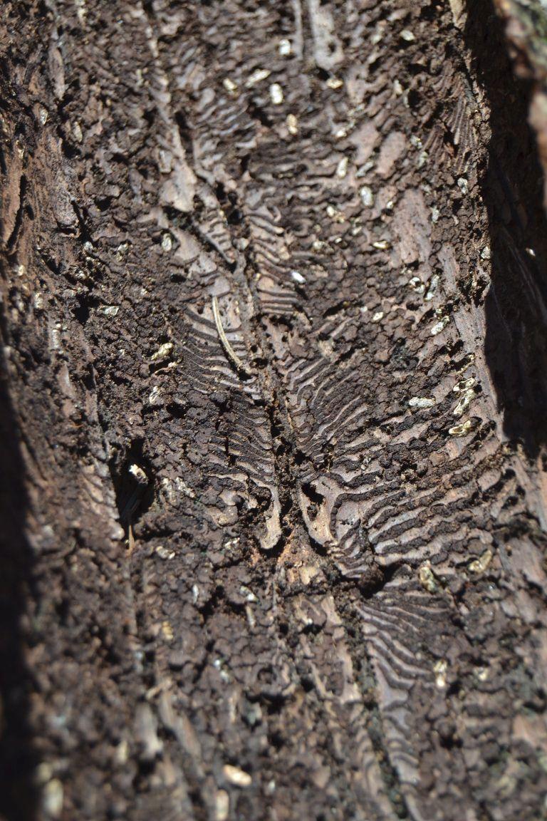 Strom napadený kůrovcem je vydolovaný cestičkami  (07.06.2019)