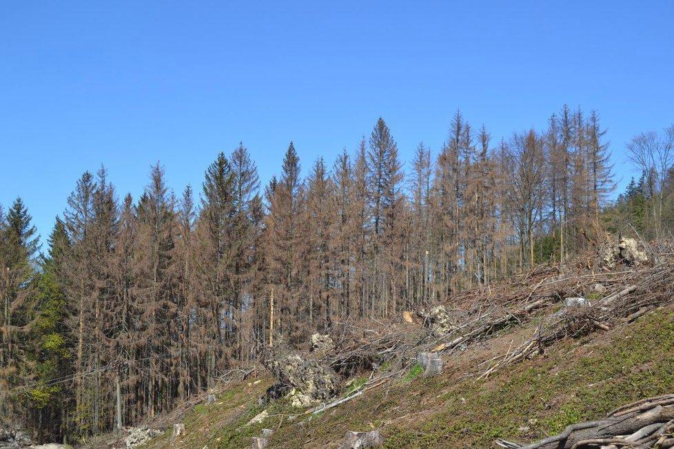 Lesy jsou suché a bezbranné. Napadá je kůrovec a trpí na nedostatek vody (07.06.2019)