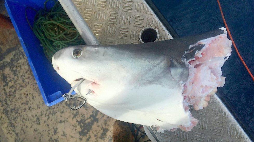 Snímky ukazují, jak dopadl žralok bílý po boji se svým kolegou kanibalem. Je téměř překousnutý napůl.