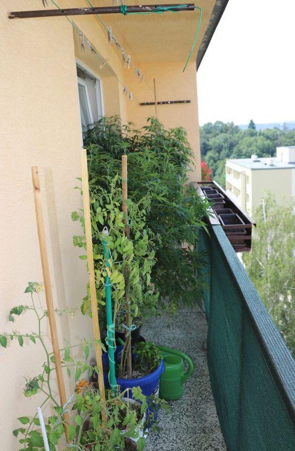 Muž (39) si rostliny konopí pěstoval v bytě na balkoně. Policistům tvrdil, že je má jen pro svou potřebu.