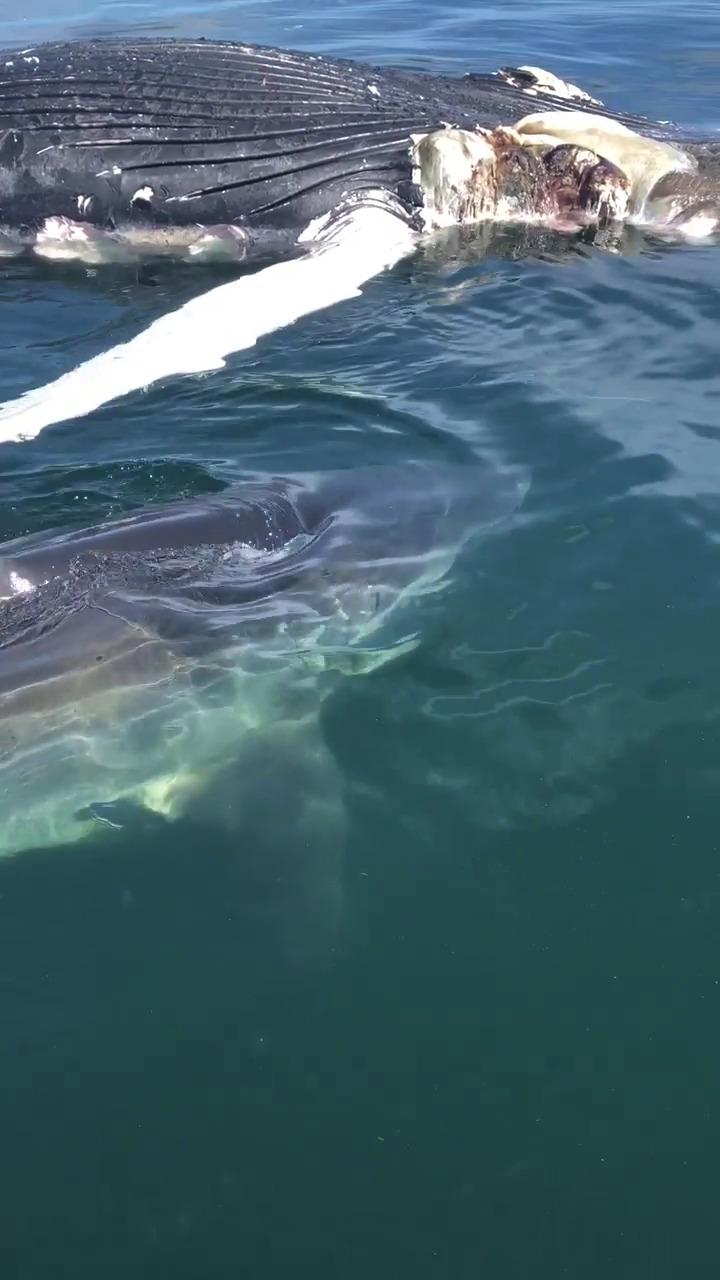 Rybáři vyrušili žraloka, který hodoval na velrybě. Paryba se pak chtěla zakousnout do jejich lodě.