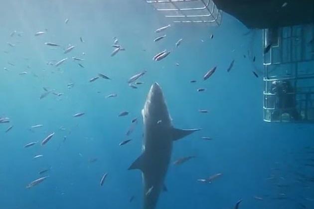 Hrůzostrašná podívaná: Obří žralok napadl potápěče v kleci a zasekl se v mřížích! Pětadvacet minut bojoval o život.