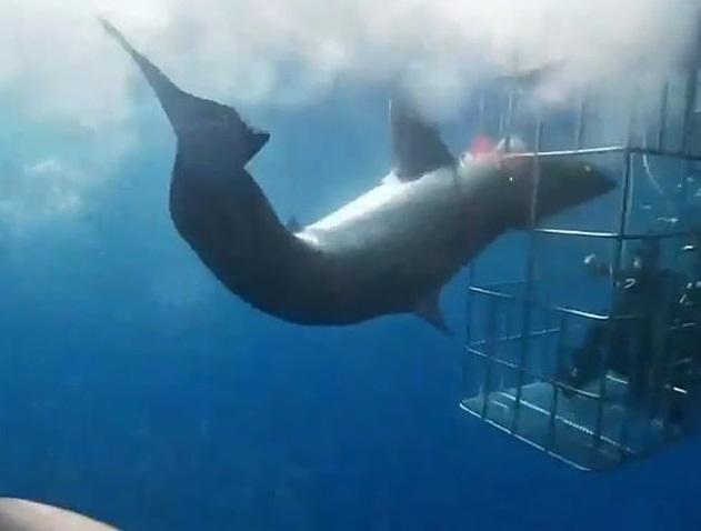 Hrůzostrašná podívaná: Obří žralok napadl potápěče v kleci a zasekl se v mřížích! Pětadvacet minut bojoval o život