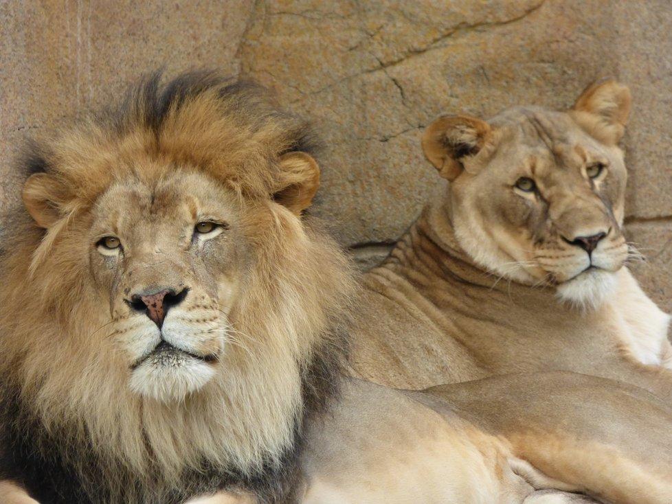 Vše nasvědčuje tomu, že lví pár bez sebe nemohl být