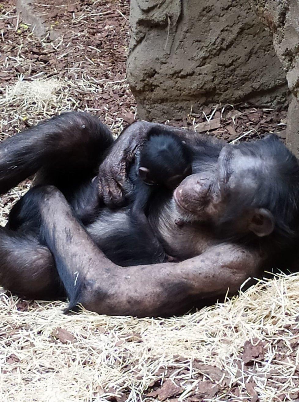 Samice šimpanze se stará o své mládě v ostravské zoo zatím ukázkově, i když je prvorodičkou. Foto: ZOO