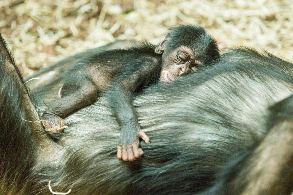Samice šimpanze se stará o své mládě v ostravské zoo zatím ukázkově, i když je prvorodičkou.
