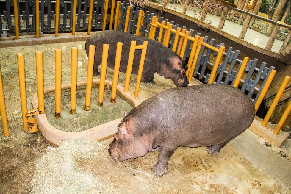 Pár hrochů obojživelných v ostravské zoo nemusí mít strach, že jejich mládě sežere třeba krokodýl. Místní pracovníci o rozšíření chovu na rozdíl od jiných zoo v Evropě.