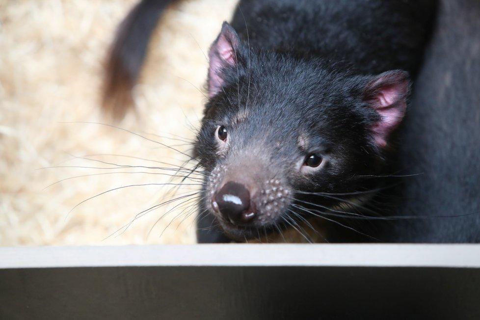 Zoo Praha otevřela novou expozici australské fauny. Hlavní atrakcí jsou tasmánští čerti.