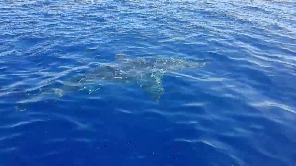 U italského ostrova Lampedusa kroužil šestimetrový žralok bílý kolem malé lodi.