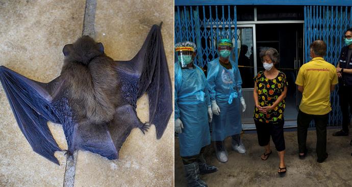 Vědci v Thajsku testují netopýry jako možné původce koronaviru (14. 6. 2020).
