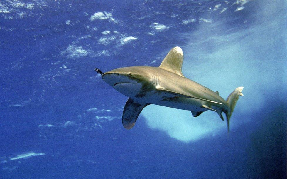 V Rudém moři můžete narazit i na žraloky.
