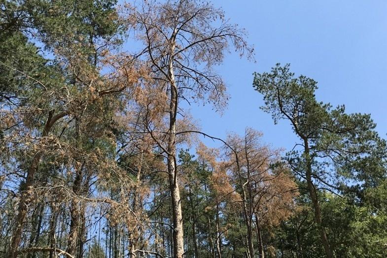 Ani pražským lesům se kůrovec nevyhnul