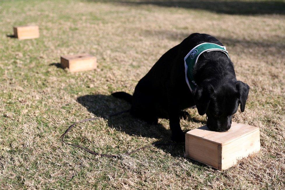 Chilská policie začala trénovat psy, aby dokázali odhalit nemocné s covidem-19.