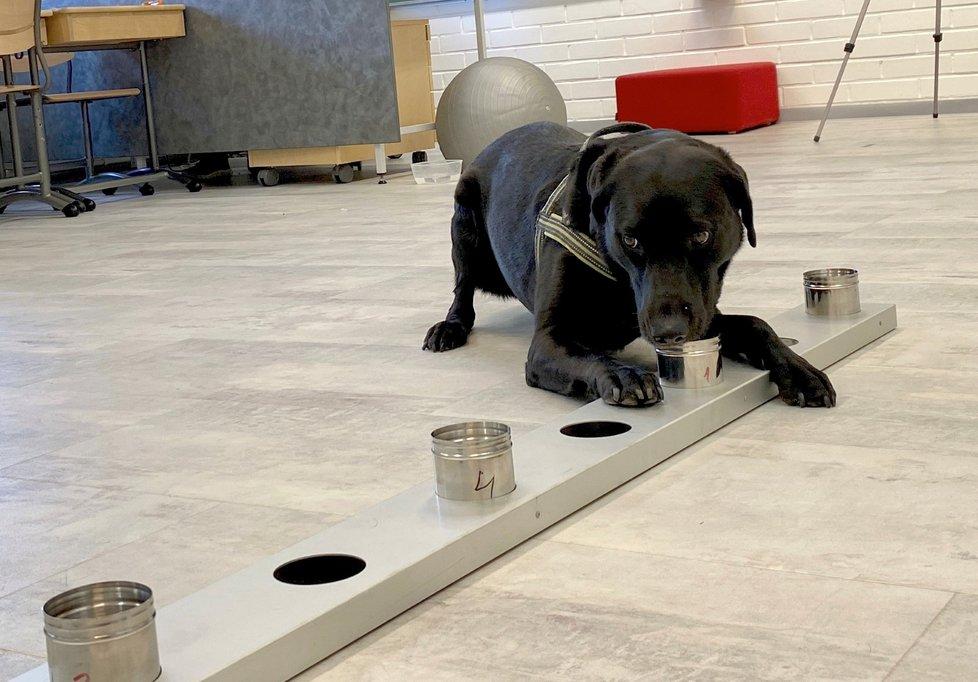 Finsko nasadilo na mezinárodní letiště u Helsinek psy, kteří údajně dokážou odhalit koronavirovou nákazu u lidí.