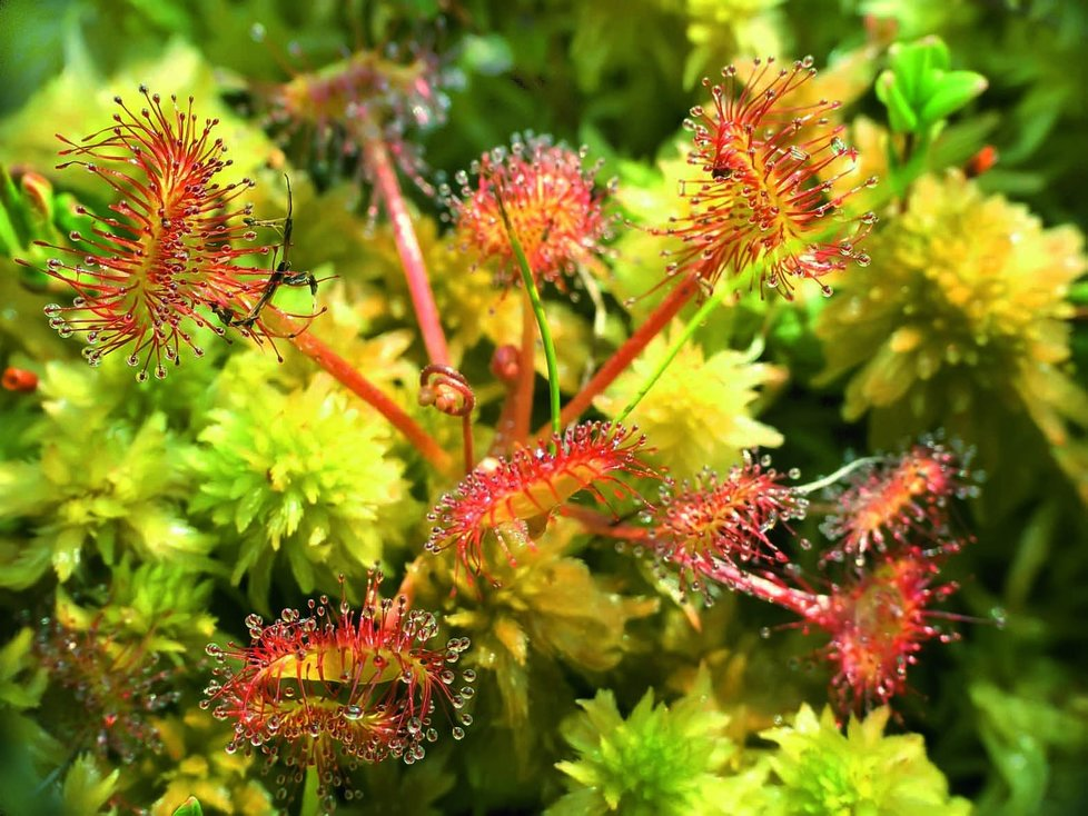 Masožravka rosnatka patří k méně náročným druhům pro pěstování.