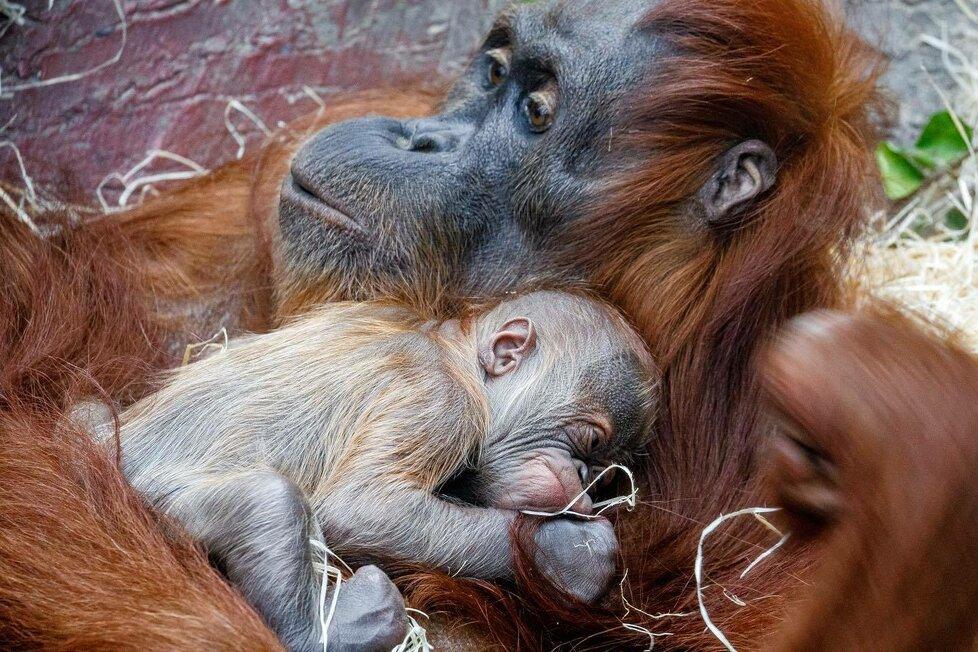 V Zoo Praha se v úterý 17. listopadu narodilo mládě orangutana sumaterského.