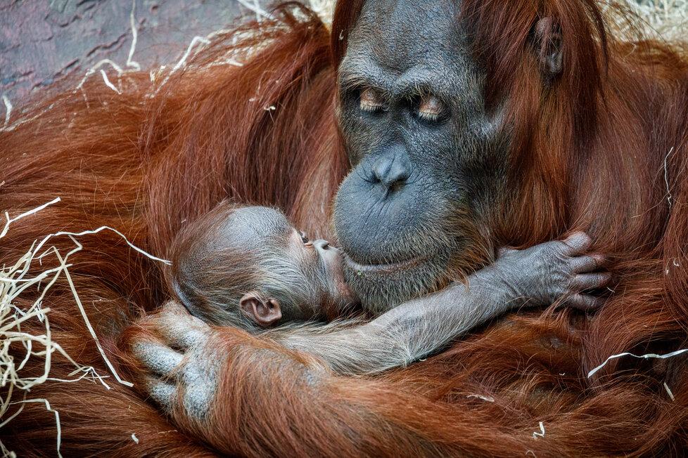 V Zoo Praha se v úterý 17. listopadu 2020 narodilo mládě orangutana sumaterského.