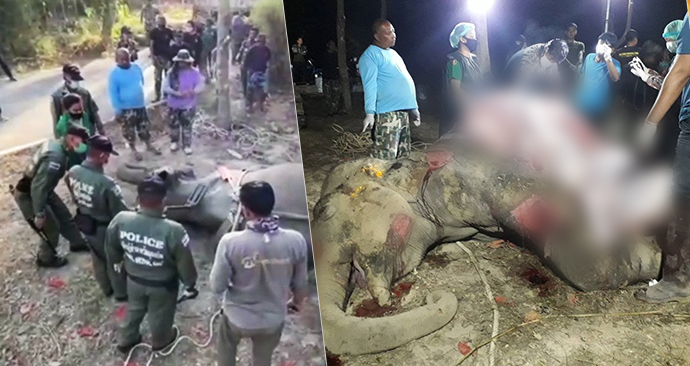 V Thajsku marně zachraňovali slona se 43 kulkami v těle. Zemřel při tom i jeden ze správců parku.