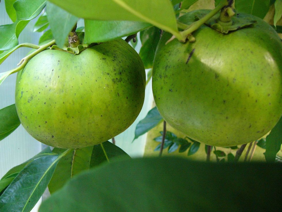Čokoládové ovoce obsahu 3x více vitamínu C, než citróny.