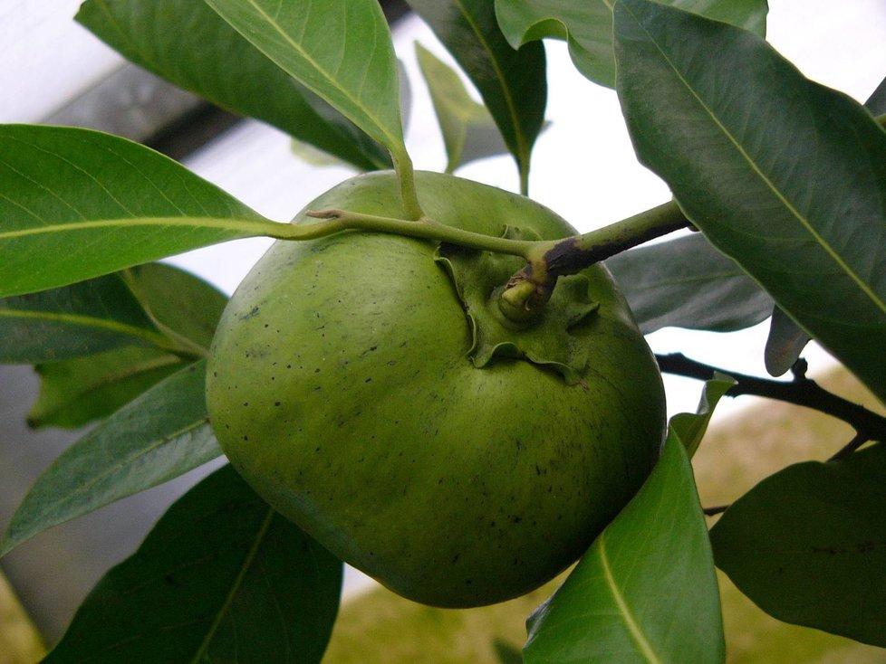 """Plody """"čokoládovníku"""" jsou podobné zeleným rajčatů a zrají jeden rok."""