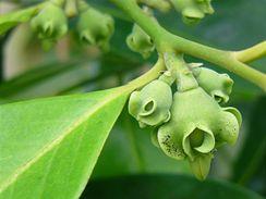 Černá sapota kvete na jaře nebo začátkem léta.