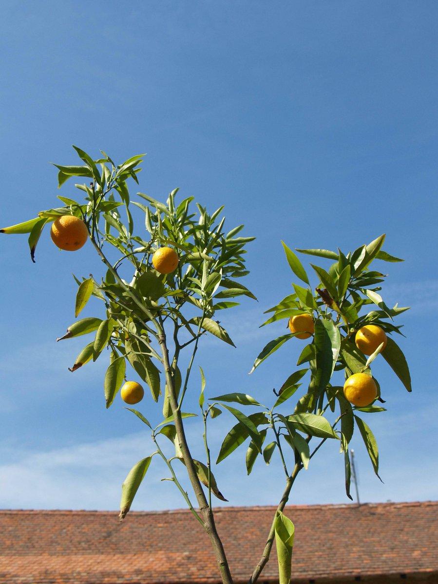Ve sbírce nechybí ani mnoho odrůd mandarinek a dalších citrusů.